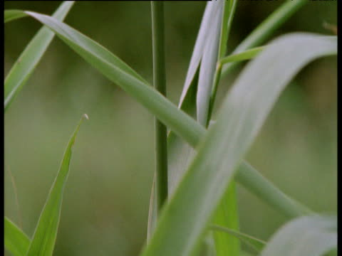 tilt up reed stalk to reveal tiny harvest mouse, uk - human vertebra stock videos and b-roll footage