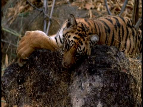 tilt up rocks to cu royal bengal tiger cub, bandhavgarh national park, india - tierfarbe stock-videos und b-roll-filmmaterial