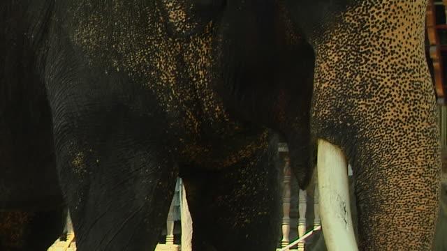 tilt up shot elephant in gangaramaya temple colombo western province sri lanka - animale da lavoro video stock e b–roll