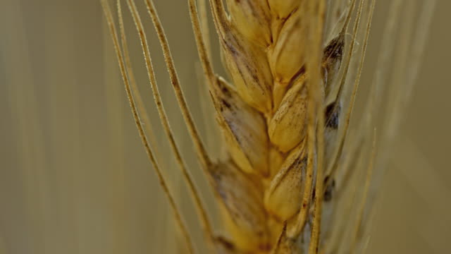 ecu tilt up shot of a wheat ear - ear of wheat stock videos and b-roll footage