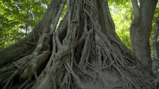 tilt up shot of tall tree trunk in forest - luang phabang, laos - off the beaten path stock videos & royalty-free footage