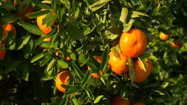 tilt up, sunlight on ripe mandarines and leaves