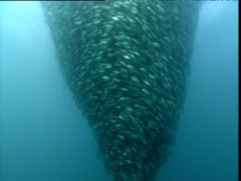 tilt up swirling bait ball, panama - bait ball stock videos & royalty-free footage