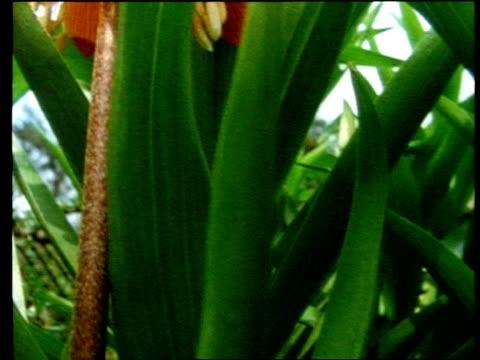 cu tilt up through green leaves to red amaryllis - amaryllis stock videos & royalty-free footage