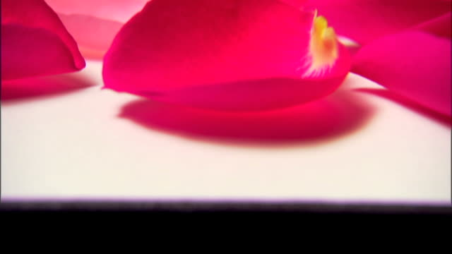 tilt up to a close-up of a single rose petal. - single rose stock videos & royalty-free footage