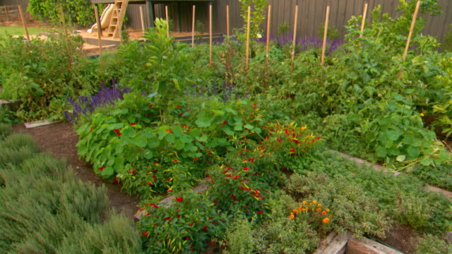 Tilt up to backyard herb and vegetable garden including chili rosemary thyme and lavender plants