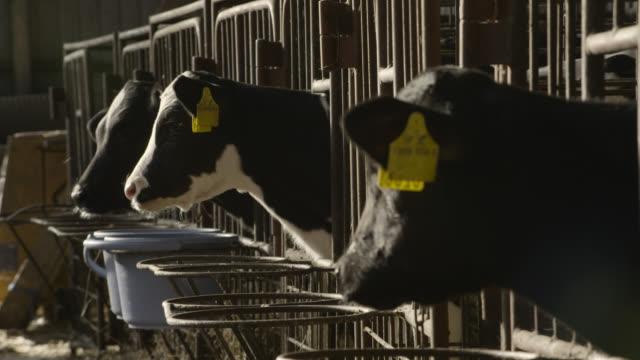 tilt up to calves in barn, japan. - 家畜点の映像素材/bロール