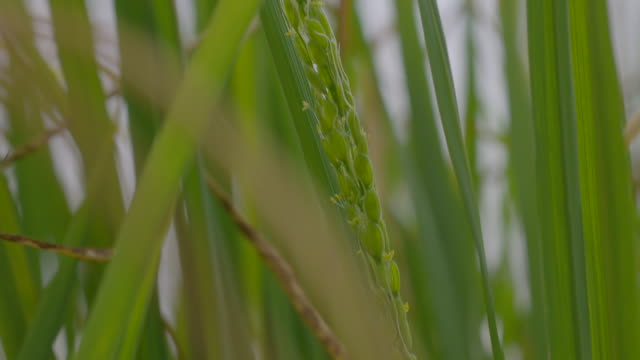 vidéos et rushes de tilt up to enveloped grains of basimati rice growing in a polytunnel (parts of plant are infected with fungal disease), uk. - tige d'une plante