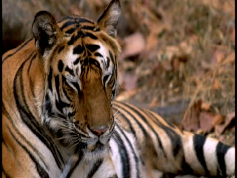 tilt up to cu face of royal bengal tiger with eyes closed, bandhavgarh national park, india - animal colour stock videos & royalty-free footage