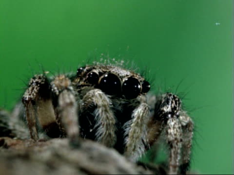 tilt up to jumping spider, zooms in to big close-up of eyes, then zooms out again - arachnophobia stock videos & royalty-free footage