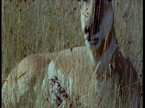 tilt up to pronghorn antelope chewing cud, montana - プロングホーン点の映像素材/bロール