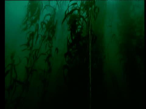 tilt up to reveal vast kelp plants, tasmania - lunghezza video stock e b–roll