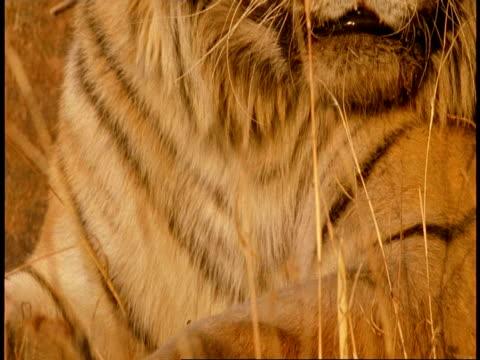 vídeos de stock, filmes e b-roll de cu tilt up to royal bengal tiger, panthera tigris tigris, face, bandhavgarh national park, india - bigode de animal