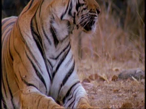 cu tilt up to royal bengal tiger, panthera tigris tigris, lying in jungle, bandhavgarh national park, india - tierfarbe stock-videos und b-roll-filmmaterial