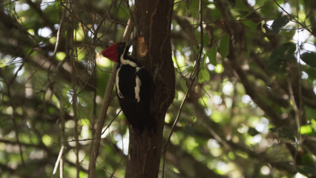 tilt up tree to lineated woodpecker (drycopus lineatus) pecking at tree trunk to find insects. - lineated woodpecker stock videos & royalty-free footage