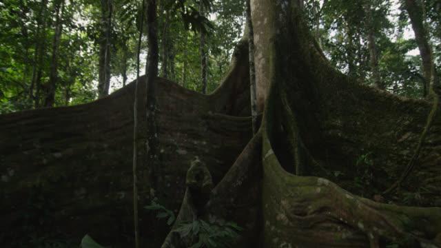 'Tilt up tree trunk in forest, Tiputini, Ecuador'