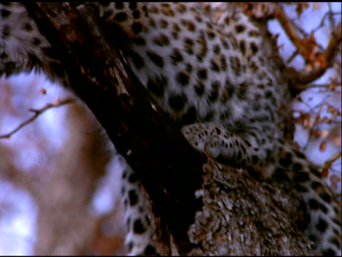 vídeos de stock e filmes b-roll de tilt up tree trunk to juvenile leopard resting on branch, botswana - camuflagem padrão