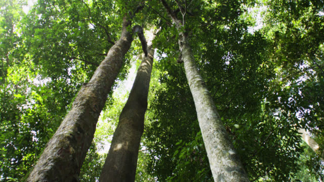 tilt up trees to canopy, malaysia. - tree trunk stock videos & royalty-free footage