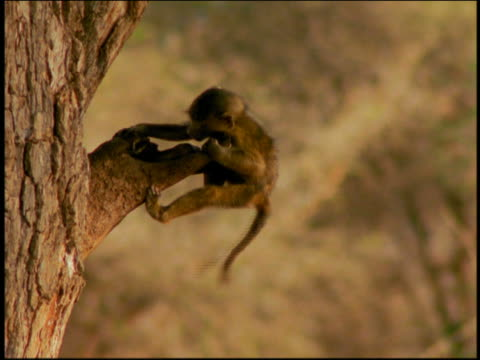 tilt up two baby baboons playing on tree branch + hanging upside down / tarangire, tanzania, africa - upside down stock videos and b-roll footage