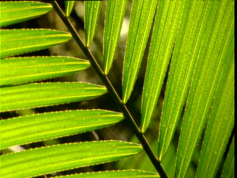 tilt up under leaflets of palm frond in rainforest, daintree, australia - frond stock videos & royalty-free footage