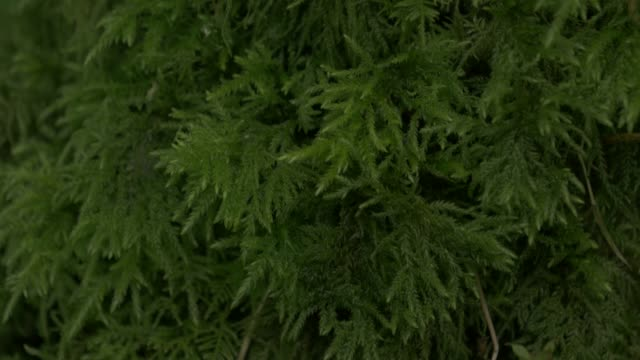 tilt up view moss in forest ,northern ireland - coniferous stock videos & royalty-free footage