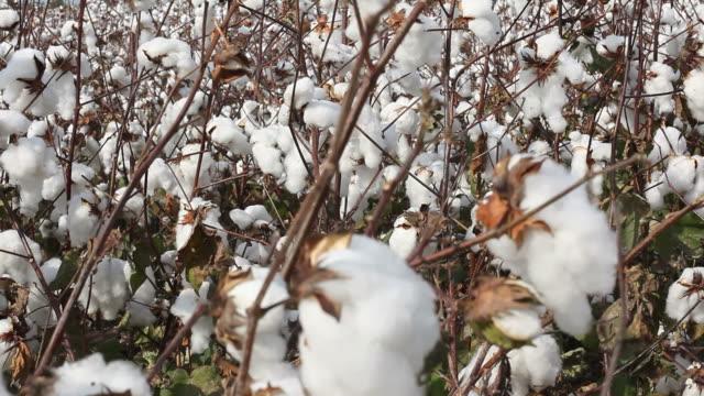 Tilt up view of cotton field