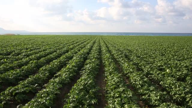 Tilt up view of potato crop and coastal field, sea behind