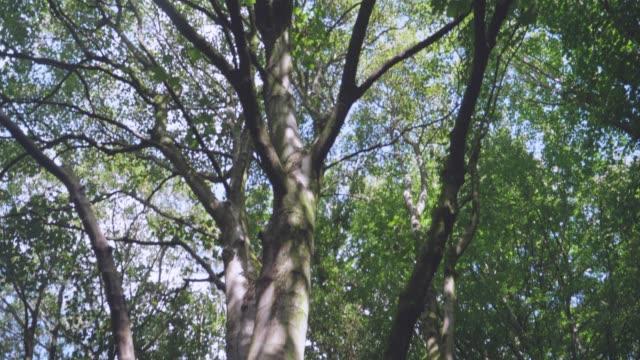 tilt up view tree in summer forest ,Northern Ireland