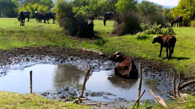 vídeos y material grabado en eventos de stock de inclinado hacia arriba: búfalo indio en el campo - turkey