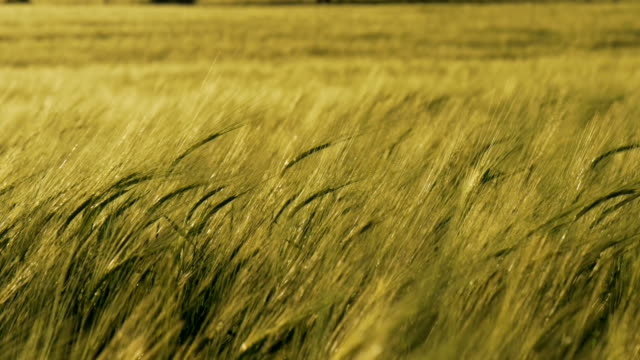 tilt up, windswept golden barley field with trees - feld stock-videos und b-roll-filmmaterial