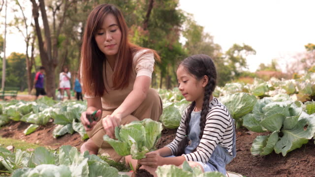 tilt view of asian family with one child harvesting vegetables from organic garden. mother and daughter wearing casual clothes picking fresh vegetables from the soil and decorating leaves with scissors on summer morning. concept of sustainable lifestyle. - agricultural activity stock videos & royalty-free footage
