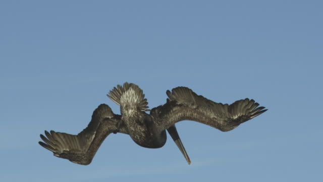 slo mo ms tilt with brown pelican plunge diving for fish in harbour - pelican stock videos & royalty-free footage
