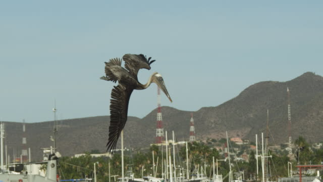 vídeos de stock e filmes b-roll de slo mo ms tilt with brown pelican plunge diving for fish in harbour - pelicano