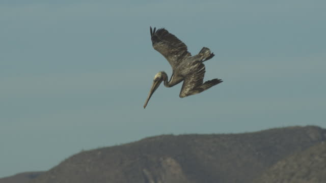 vídeos de stock e filmes b-roll de slo mo ms tilt with brown pelican plunge diving for fish off shore - pelicano