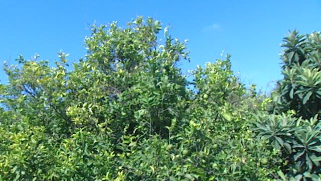 vídeos y material grabado en eventos de stock de tilt-down of a lemon orchard. - huerta