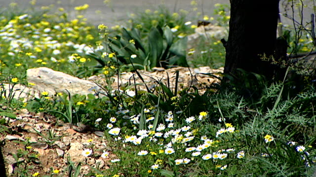 tilt-down on a patch of roadside daisies blowing in the breeze of passing cars, with a tree trunk in the foreground. - petal stock videos & royalty-free footage