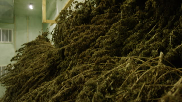 tilting down shot of a large pile of harvested, unprocessed marijuana (cannabis) plants drying in an indoor processing facility (hemp) - legalisation stock videos & royalty-free footage