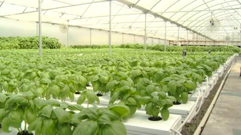 vidéos et rushes de tilting down shot of hydroponic basil farm in greenhouse - culture hydroponique