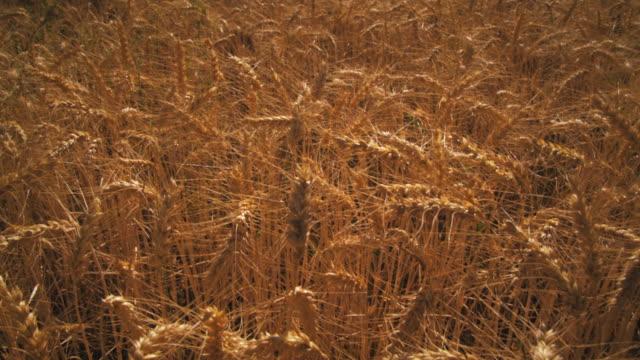 tilting shot of golden wheat field and mountain. - プロボ点の映像素材/bロール