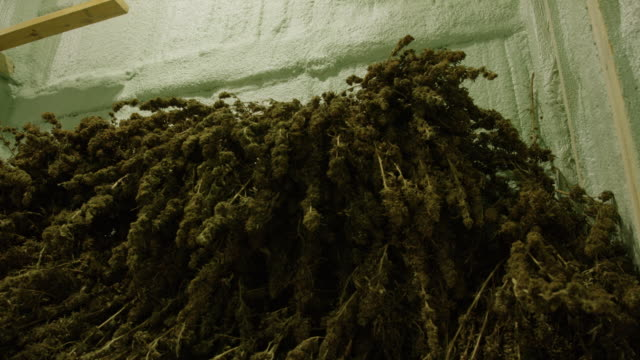 tilting up shot of a large pile of harvested, unprocessed marijuana (cannabis) plants drying in an indoor processing facility (hemp) - legalisation stock videos & royalty-free footage