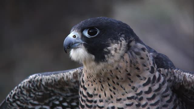 vídeos y material grabado en eventos de stock de tilting up shot of peregrine falcon. - halcón