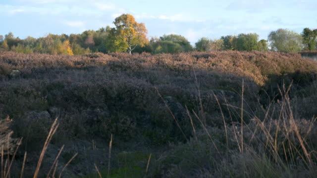 vidéos et rushes de tilt-up shot from the undergrowth of the bog to the landscape with birch tree - arbre à feuilles caduques