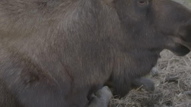 stockvideo's en b-roll-footage met tilt-up shot of a moose in the arctic national wildlife refuge - arctic national wildlife refuge