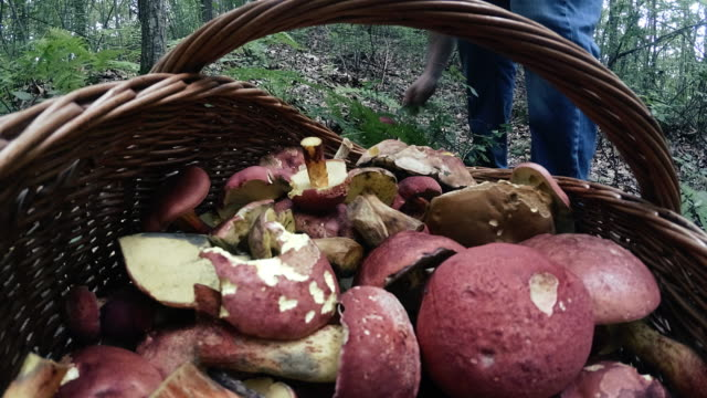 tim elapse: the mature man gathering mushrooms in the appalachian's forest in poconos, pennsylvania - picking mushrooms stock videos and b-roll footage