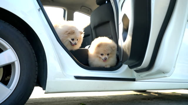 time for travel. two pomeranian dogs, they are happy when run out of doors. - vehicle door stock videos & royalty-free footage