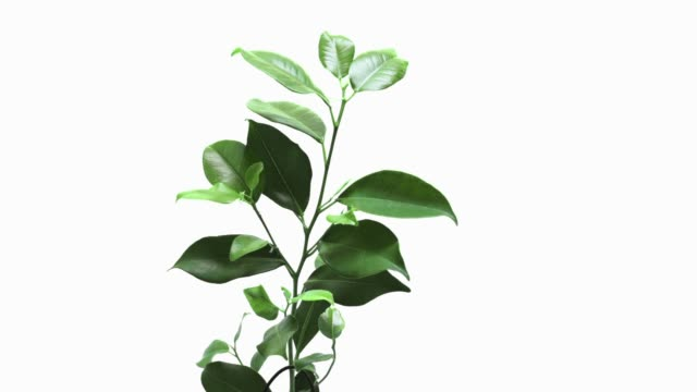time lapce of growing ficus - tropical tree stock videos & royalty-free footage