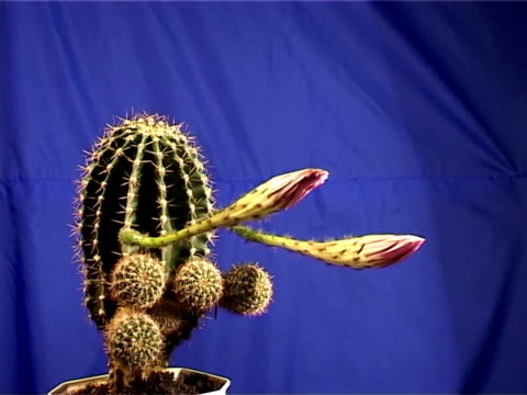 time laps of cactus flower on blue background - flowering cactus stock videos & royalty-free footage