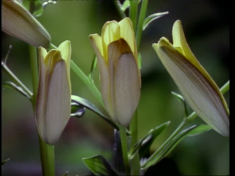 time lapse, cu 3 white buds opening to yellow day lilies - おしべ点の映像素材/bロール