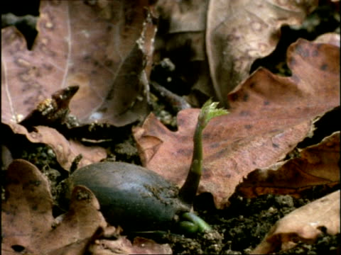 time lapse - cu acorn germinating, tilt up as seedling grows, uk - oak tree stock videos & royalty-free footage