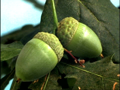 time lapse - cu acorns of common english/pedunculate oak tree (quercus robur) growing, uk - seed stock videos & royalty-free footage